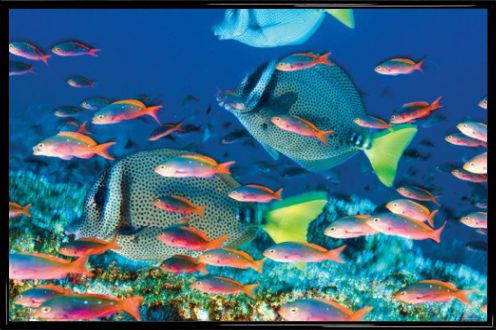 Poissons yellow tailed surgeonfish poster acheter for Acheter des poissons