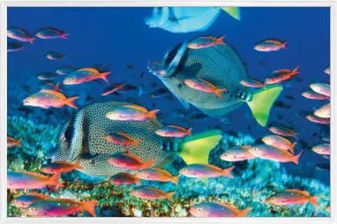 fische yellow tailed surgeonfish poster online im shop von 1art1 kaufen. Black Bedroom Furniture Sets. Home Design Ideas