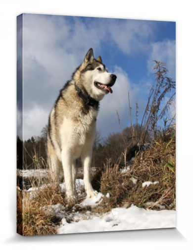 Dogs - Alaskan Malamute Snow Dog
