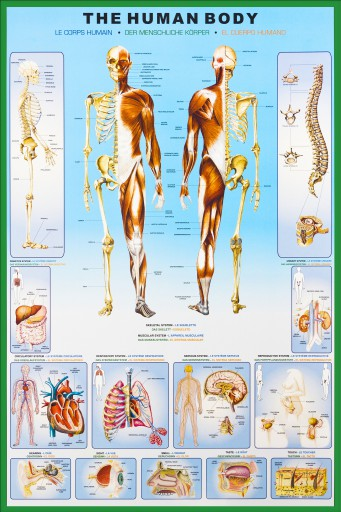 The Human Body - Anatomy