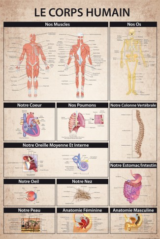 Le Corps Humain - Anatomie Muscles Os Organs