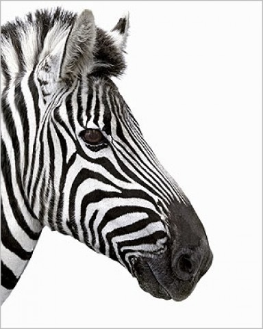 Zebras - Zebra, Side-Face - Digital Zoo - Art Prints - buy ...