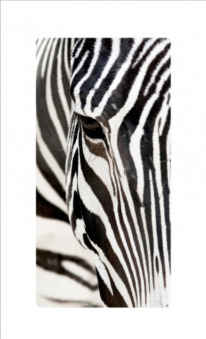 zebras close up bilder auf acrylglas online im shop von 1art1 kaufen. Black Bedroom Furniture Sets. Home Design Ideas