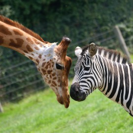 Animals - Kiss  Giraff...