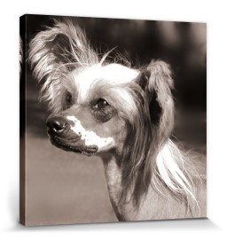 Dogs - Chinese Crested Dog, Portrait