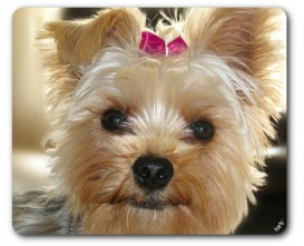 Dogs - Yorkshire Terrier With Pink Bow