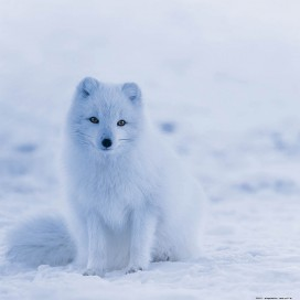 Foxes - Little Arctic Fox Puppy In The Snow