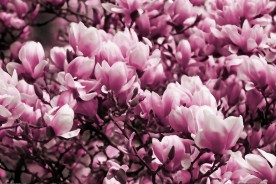 Flowers - Pink Magnolia Blossoms
