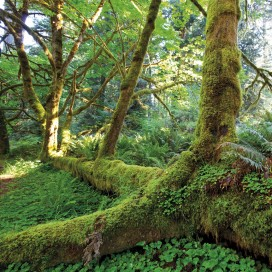 Forests - Giant Roots In The Rainforest