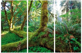 Forests - Giant Roots In The Rainforest, 3 Parts
