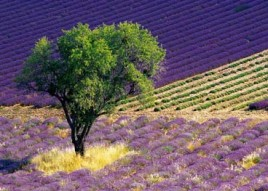 Lavender - Provence By Alain Christof