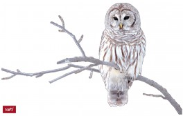 Owls - Barred Owl Sitting On A Branch