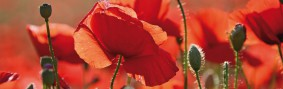 Poppies - Red Poppies, Flowers And Buds, 1 Part